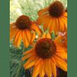 Bluestone Perennials coupons